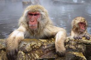 Two Japanese Macaque, Snow Monkey, Macaca fuscata, bathing in hot spring, adult and young animal.の写真素材 [FYI02260033]