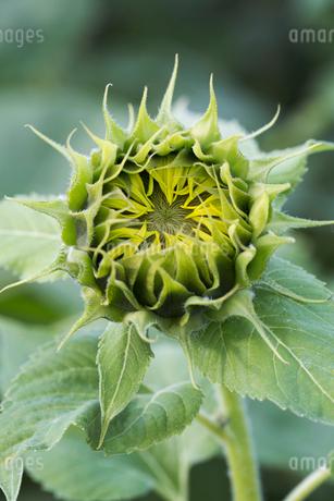 Close up of flower head of sunflower.の写真素材 [FYI02260104]