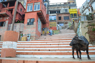 Cattle standing on the steps on the riverbank of the Ganges in Varanasi, India.の写真素材 [FYI02260197]