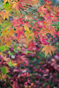 Autumn colours, foliage of an acer tree, Japanese maple with delicate palmate shapes, vivid colours,の写真素材 [FYI02260200]