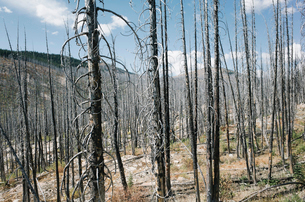 Fire damaged forest from extensive wildfire, near Harts Pass, Pasayten Wilderness, Washington.の写真素材 [FYI02260210]