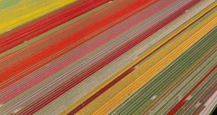 Aerial view of rows of colourful fields of tulips.の写真素材 [FYI02260213]