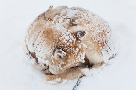 High angle view of Husky dog with snow-covered fur curled up on the ground.の写真素材 [FYI02260234]