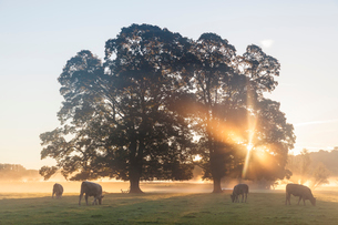 Sunrise over misty landscape with two trees, herd of cows grazing underneath.の写真素材 [FYI02260269]