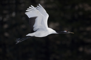 Red-crowned crane, Grus japonensi, Japanese crane, white with grey and patch of red bare skin on theの写真素材 [FYI02260331]