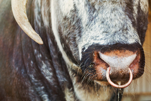 Close up of brown English Longhorn bull with nose ring.の写真素材 [FYI02260341]