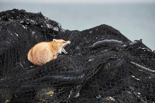 Ezo red fox, Vulpes vulpes schrencki, on heap of fishing nets in winter.の写真素材 [FYI02260374]