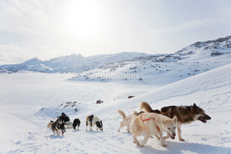 Winter landscape with pack of Huskies pulling a sledge.の写真素材 [FYI02260385]