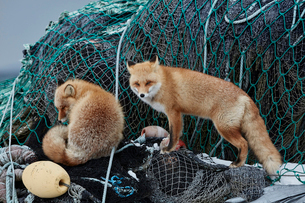 Two Ezo red fox, Vulpes vulpes schrencki, on heap of fishing nets in winter.の写真素材 [FYI02260392]