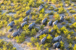 Aerial view of herd of African Elephants walking through the bush in lush delta.の写真素材 [FYI02260393]
