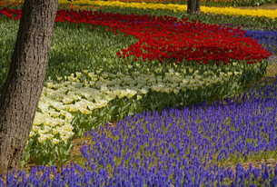 Carpet of tulips in a variation of bright colours growing in between trees.の写真素材 [FYI02260471]