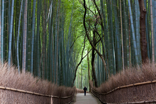 Rear view of person walking along a path lined with tall bamboo trees.の写真素材 [FYI02260504]