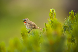 Close up of brown Siberian Rubythroat, Calliope calliope perching on plant.の写真素材 [FYI02260525]
