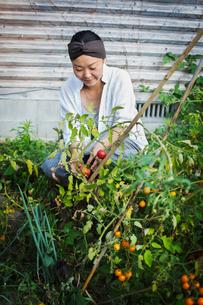 Smiling woman kneeling in garden, picking tomatoes.の写真素材 [FYI02260756]