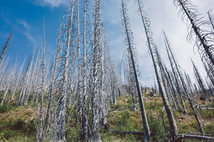 Fire damaged forest from extensive wildfire, near Harts Pass, Pasayten Wilderness, Washington.の写真素材 [FYI02260763]