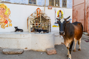 Cattle and two dogs next to a Hindu shrine in the street in the city of Jodhpur.の写真素材 [FYI02260824]