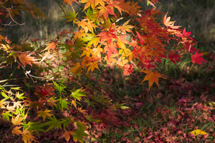Autumn colours, foliage of an acer tree, Japanese maple with delicate palmate shapes, vivid colours,の写真素材 [FYI02260833]