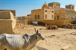 Cattle and camel among houses, Rajasthan, India.の写真素材 [FYI02260875]