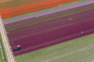 Aerial view tractor driving across red, green and pink fields of tulips.の写真素材 [FYI02260903]