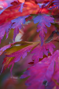 Autumn colours, foliage of an acer tree, Japanese maple with delicate palmate shapes, deep vivid colの写真素材 [FYI02260918]
