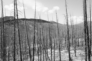 Fire damaged forest from extensive wildfire, near Harts Pass, Pasayten Wilderness, Washington.の写真素材 [FYI02260955]