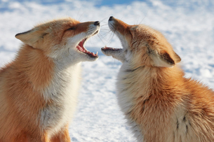 Two Ezo red fox, Vulpes vulpes schrencki, in winter.の写真素材 [FYI02261004]