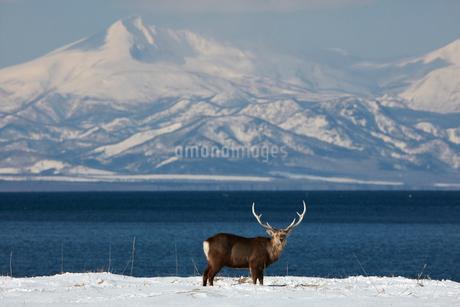 Sika deer, Cervus nipponin, standing by shore of bay in winter.の写真素材 [FYI02261081]