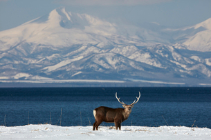 Sika deer, Cervus nipponin, standing by shore of bay in winter.の写真素材 [FYI02261081]