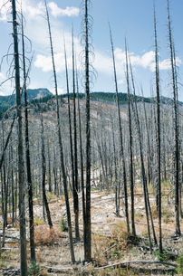 Fire damaged forest from extensive wildfire, near Harts Pass, Pasayten Wilderness, Washington.の写真素材 [FYI02261122]