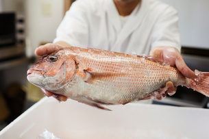 Close up of chef at a Japanese sushi restaurant, holding fresh whole sea bream.の写真素材 [FYI02261166]