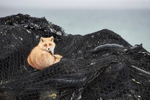 Ezo red fox, Vulpes vulpes schrencki, on heap of fishing nets in winter.の写真素材 [FYI02261215]