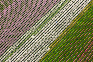 Aerial view of rows of colourful fields of tulips.の写真素材 [FYI02261241]