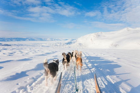 Winter landscape with pack of Huskies pulling a sledge.の写真素材 [FYI02261260]