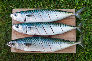 Three fresh mackerel fish on the slab being prepared for cooking.の写真素材 [FYI02261263]