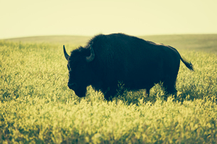American bison standing in field of mustard seed, Theodore Roosevelt National Park, North Dakotaの写真素材 [FYI02261404]
