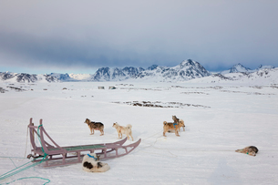 Winter landscape with pack of Huskies resting on the ice.の写真素材 [FYI02261536]