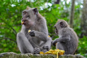 Grey long-tailed macaques, two animals eating fruit sitting on a wall.の写真素材 [FYI02261571]