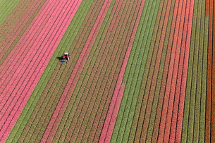 Aerial view tractor driving across red, green and pink fields of tulips.の写真素材 [FYI02261592]