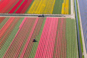 Aerial view tractor driving across red, green and pink fields of tulips.の写真素材 [FYI02261619]