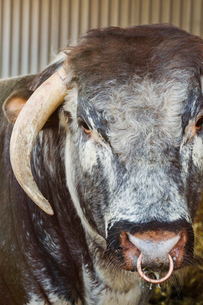 Close up of brown English Longhorn bull with nose ring looking at camera.の写真素材 [FYI02261634]