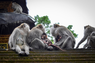 Grey long-tailed macaques on Bali Island on temple steps.の写真素材 [FYI02261673]