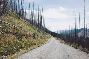Road through fire damaged forest from extensive wildfire, near Harts Pass, Pasayten Wilderness, Washの写真素材 [FYI02261681]