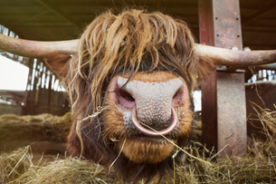 Close up of brown Scottish Highland bull with long wavy coat and nose ring in a barn.の写真素材 [FYI02261728]