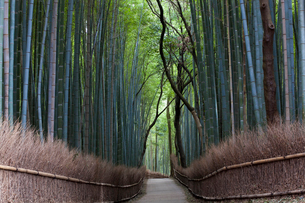 View along path lined with tall bamboo trees.の写真素材 [FYI02261741]