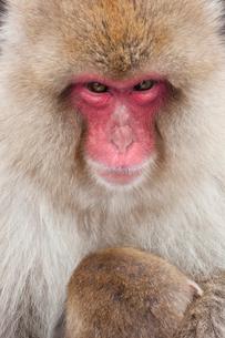 Japanese Macaque, Macaca fuscata, in the winter snow, Joshin-etsu National Park, Honshu, Japan.の写真素材 [FYI02261779]