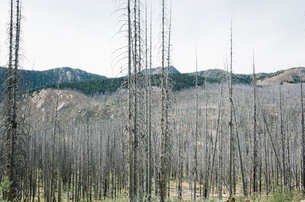 Fire damaged forest from extensive wildfire, near Harts Pass, Pasayten Wilderness, Washington.の写真素材 [FYI02261819]