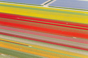 Aerial view of rows of colourful fields of tulips.の写真素材 [FYI02261823]