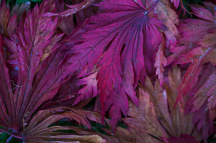 Autumn colours, foliage of an acer tree, Japanese maple with delicate palmate shapes, vivid deep jewの写真素材 [FYI02261862]