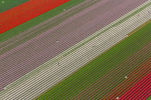 Aerial view of rows of colourful fields of tulips.の写真素材 [FYI02261906]