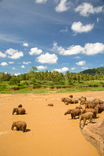 High angle view of herd of African Elephants in a river.の写真素材 [FYI02262476]